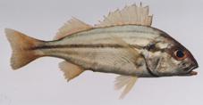أنواع الأسماك الخليج
