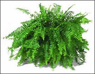 طرق تكاثر نباتات الظل  Nephrolepis
