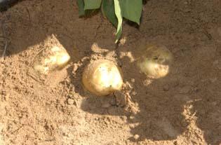 كتاب -  تحميل كتاب زراعة وانتاج البطاطس . زراعة وانتاج البطاطس - صفحة 2 4